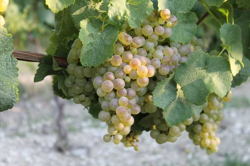 Raisin blanc Vendanges 2018